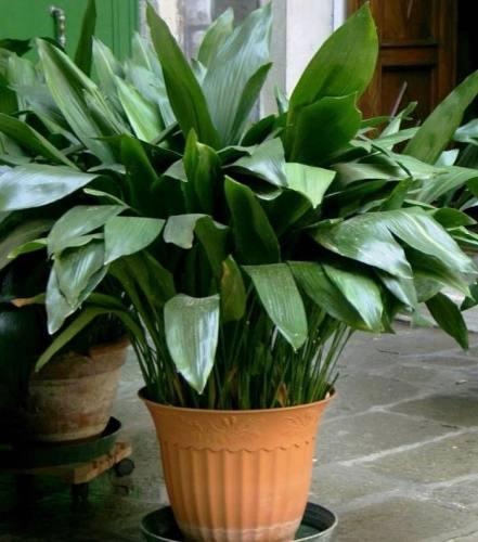 فروش گل عبایی صادقپور در تنکابن